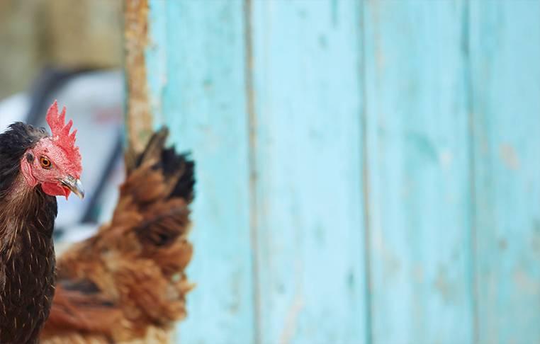 Un poulet Volay Péi